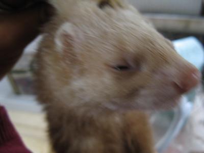 Kali the ferret