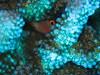 Arc Eye Hawkfish hiding inside a coral<br /> Paracirrhites arcatus