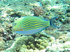 Lined surgeonfish<br /> Acanthurus lineatus