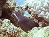 Whitemouth Moray<br /> Gymnothorax meleagris