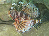Broadbarred Firefish<br /> Pterois antennata