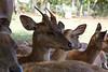 Deer in Pamplemousse Garden