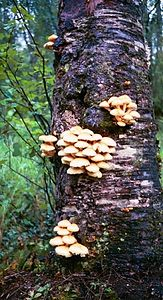 Mushrooms on a tree trunk near our hotel in Talkeetna.