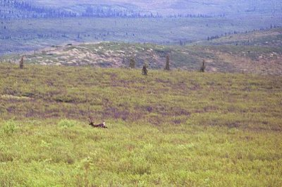 A caribou running in the distance in Denali Nat'l Park.