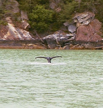 A whale sighting from the ferry to Haines from Skagway.