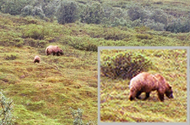 Our first bear sighting in Denali Nat'l Park! A momma grizzly bear (inset) and her cub grazing on a slope near the road.