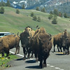 Same group of Bison that  crossed Soda Butte Creek in road