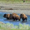 Bison crossing Soda Butte Creek