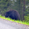 This black bear came up to the edge of the road, decided he didn't like the traffic and went back down into the woods.  All shots were through the windshield of the car.