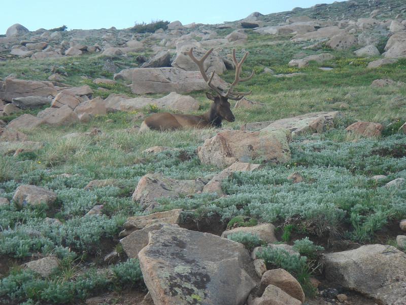 Elk beside Trail Ridge Road