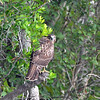 Juvenille Broad-winged hawk