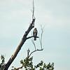 Broad -Winged Hawk