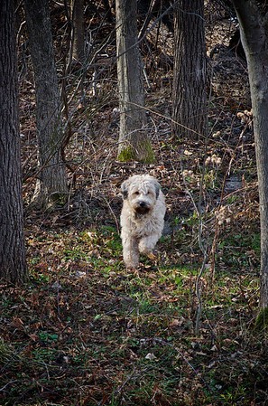 Alex Yankee-Doodle making his rounds- playing in the mud; hunting down the feral and vicious rabbits and pheasant; and ensuring no-one picking Rose Hip get lost without him.