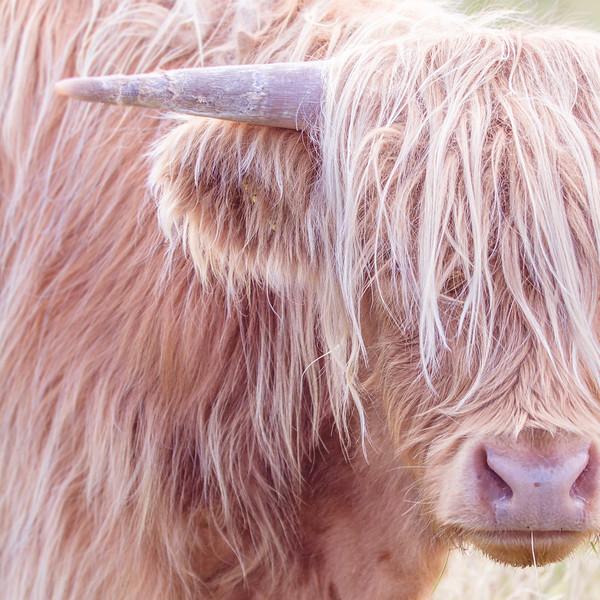 coo-scotland-highland-cow-kim-gowdy-©kimgowdy-©kdgowdy-kdgowdy