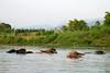 Buffalos bathing