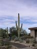 Saguaro at park visitors center