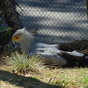 Secretary Bird  - this thing was huge and it hunts on the ground