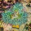 Tide Pool Sea Anenome