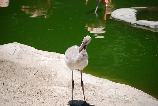 A pink flamingo before turning pink.