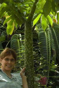 Amorphophallus 'Titan'  one of the largest of tropical plants.... certainly the largest of this species
