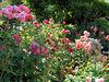 San Francisco - Summer 2006: Roses along the way
