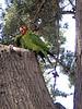 San Francisco - Summer 2006: The Parrots of Fort Mason Park