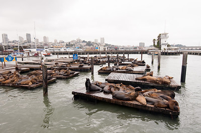 San Francisco - Sea Lions at Pier 39