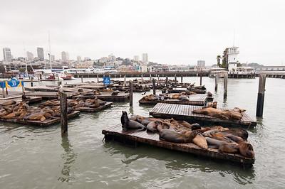 San Francisco - Sea Lions at Pier 39