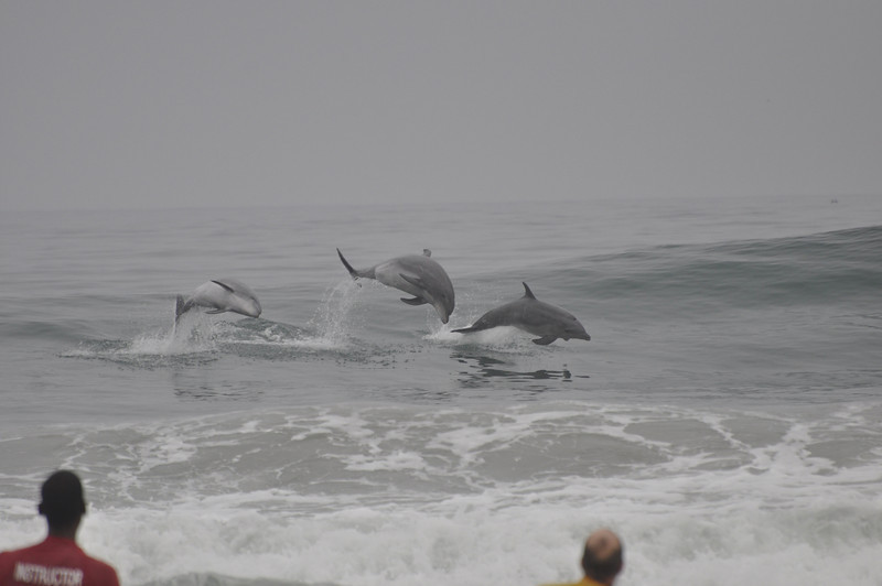 The locals reported that is is very rare for more than one dolphin to come in to play in the surf at a time.  There were surfers on either side of them, just outside of the frame of the picture.