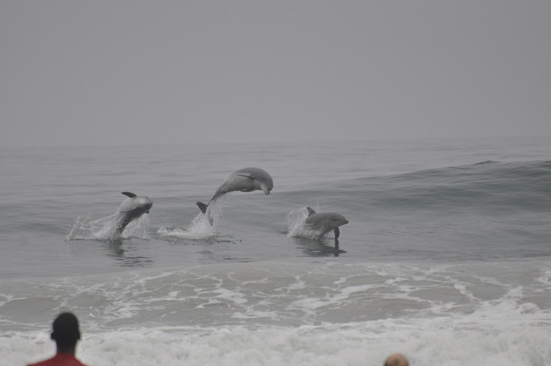 During a break from the lesson one day 3 dolphin's came in to do some surfing of their own.  Dick's head is on the right, and the instructor's head is on the left.  We were awestruck- and really lucky that the surf shop photographer happened to catch them in action.