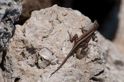 Brown Anole (NOT insurance spokesreptile)