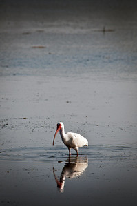 White Ibis at Ding Darling National Refuge