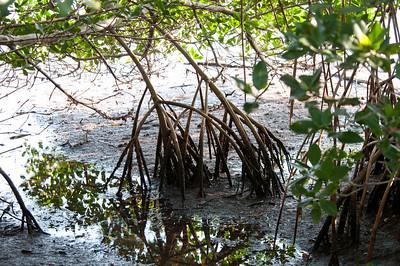 """Mangrove, """"trees of the sea"""""""