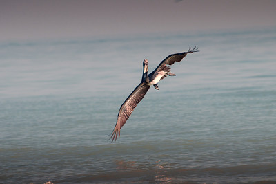 Brown Pelican on approach