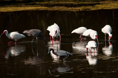White Ibisis and Little Blue Herons at Ding Darling