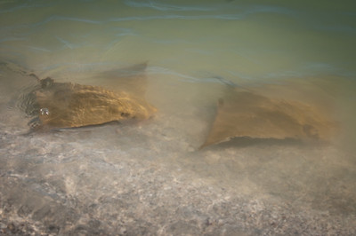 Skates (stingrays) in the shallows