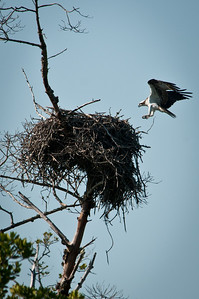 Osprey returns to nest