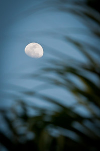 Waxing gibbous moon and palms