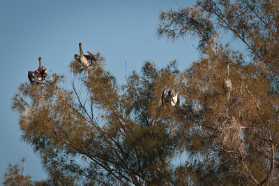 Brown pelicans perched in a tree