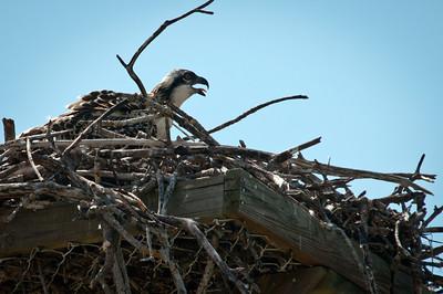Juvenile Osprey asking for food at Ding Darling
