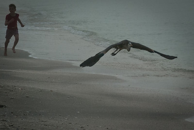 Boy and Great Blue Heron early morning on the beach.