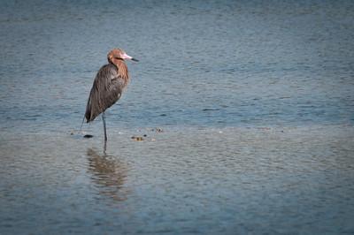 Reddish Egret at Ding Darling. Breeding plumage.