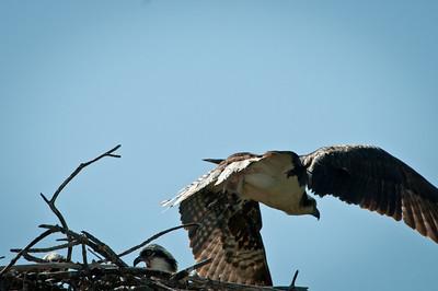 Adult Osprey exits nest at Ding Darling.