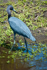 Little Blue Heron. Note breeding plumage.