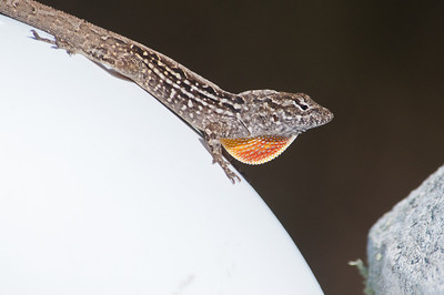 Brown Anole at Ding Darling