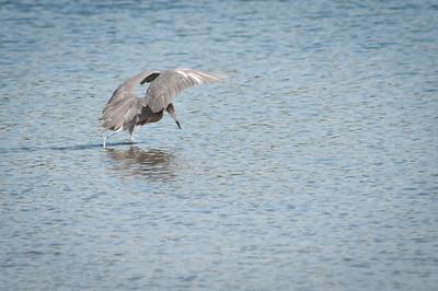 "Reddish Egret at Ding Darling doing its feeding ""dance"""