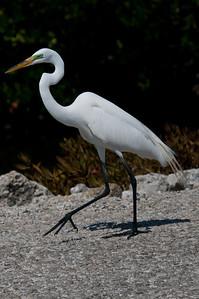 Great Egret at Ding Darling