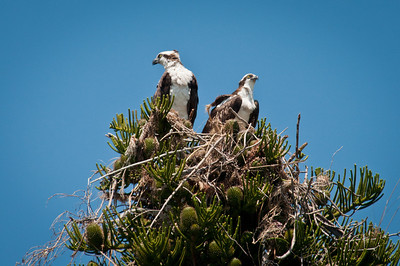 Ospreys in Slash pine