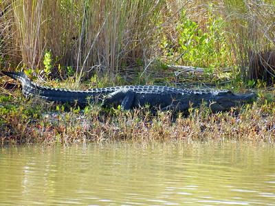 Big 'Gator