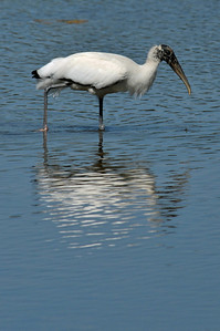 wood stork at Ding